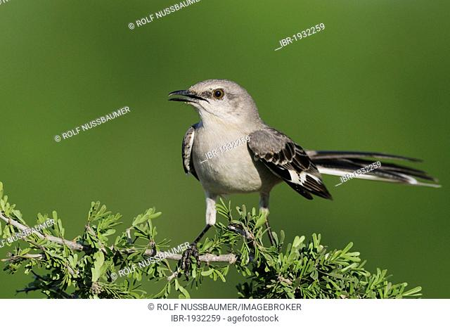 Northern Mockingbird (Mimus polyglottos), adult, Laredo, Webb County, South Texas, USA, America