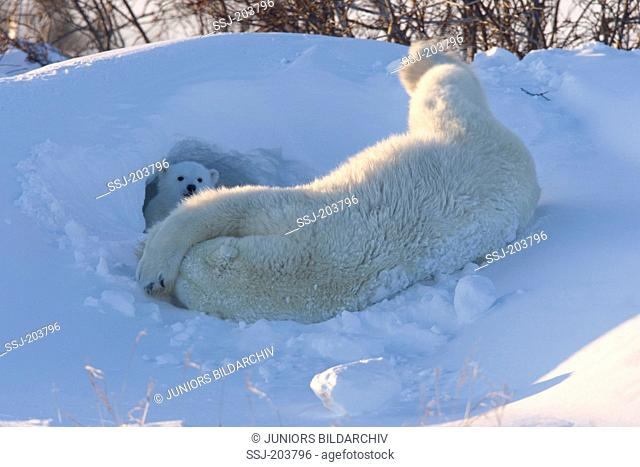 Polar Bear (Ursus maritimus, Thalarctos maritimus). Mother rolling at entrance to maternity den in snow, watched by cub. Wapusk National Park, Canada