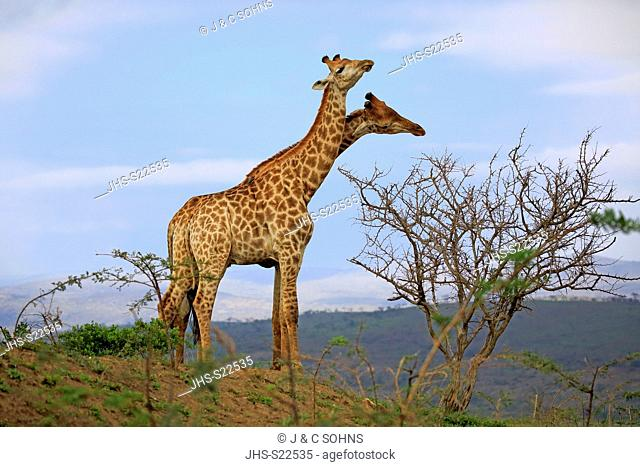 Cape Giraffe, (Giraffa camelopardalis giraffa), adult males fighting, Hluhluwe Umfolozi Nationalpark, Hluhluwe iMfolozi Nationalpark, KwaZulu Natal