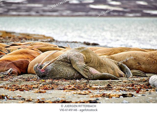 walrus (Odobenus rosmarus), Poolepynten, Svalbard or Spitsbergen, Europe - Poolepynten, Svalbard, 19/06/2018