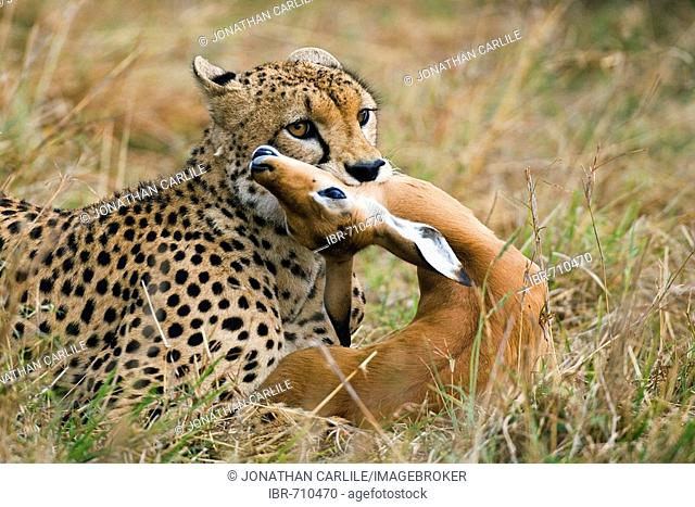 Cheetah (Acinonyx jubatus), male, with impala in mouth, Masai Mara, Kenya, Africa