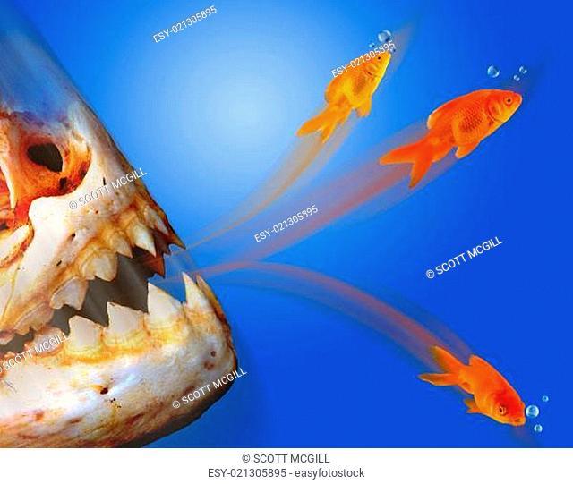 Piranha going after goldfish