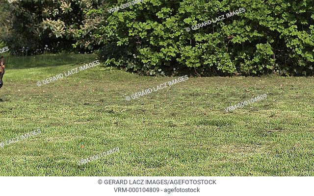 Domestic Dog, German Shepherd Dog, Female running on Grass, Slow motion