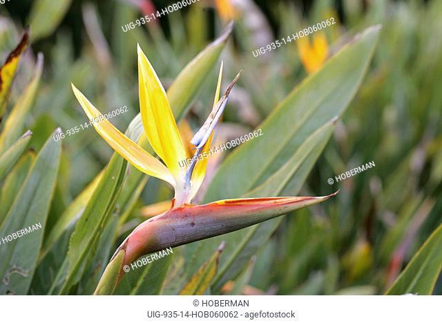 Crane Flower Strelitzia juncea Kirstenbosch Botanical Gardens, Constantia, Cape Town, South Africa