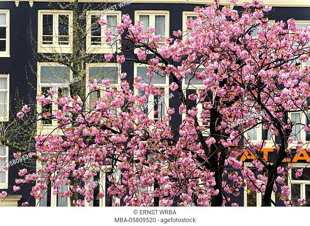 Rembrandtplein, blossoming Japanese cherry tree, Amsterdam, Holland, Netherlands