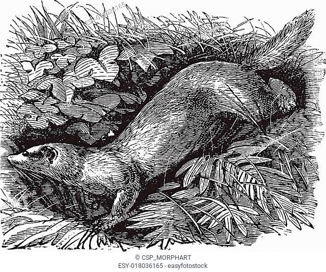 Ferret or Mustela putorius furo vintage engraving