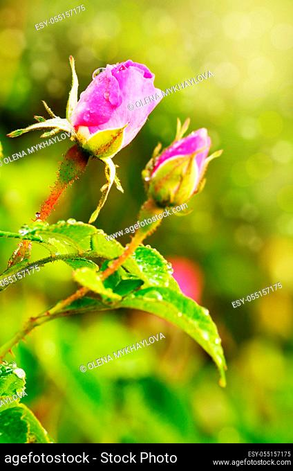 Dew on the pink rose flowers over bright green background
