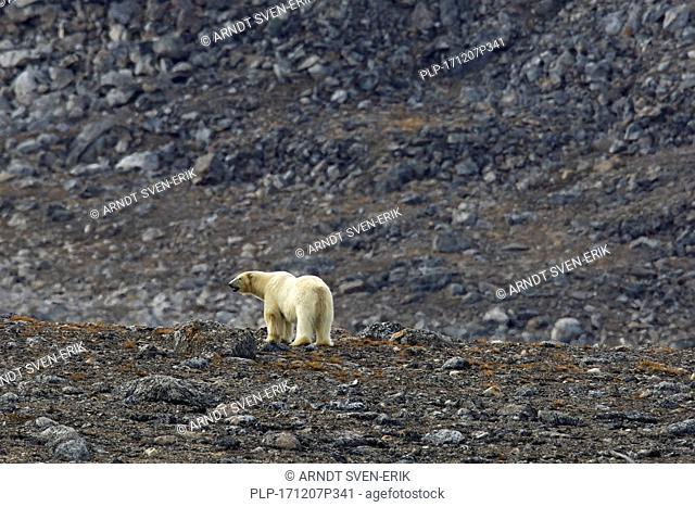 Solitary polar bear (Ursus maritimus / Thalarctos maritimus) hunting in rocky terrain on mountain slope, Svalbard, Norway