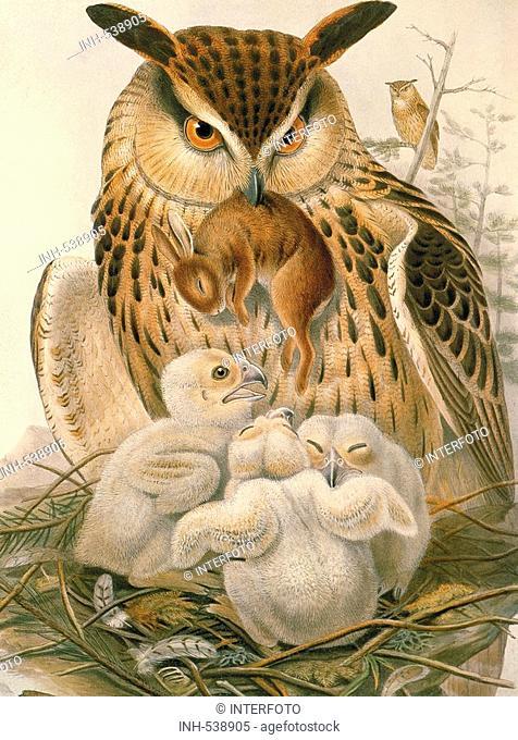 zoology / animal, avian / bird, strigidae, eurasian eagle owl, bubo bubo, feeding offspring with rabbit, colour lithograph, by John Gould 1804 - 1881