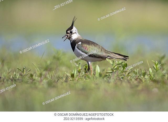 Northern Lapwing (Vanellus vanellus) adult in breeding plumage. Latvia