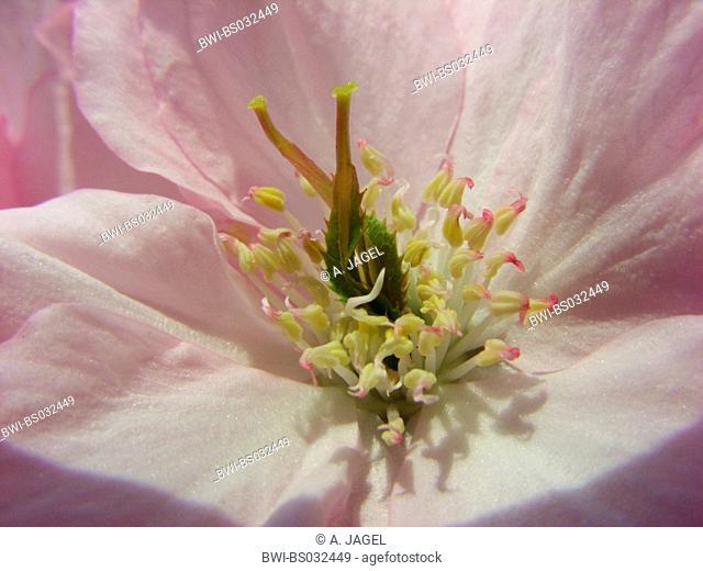 oriental cherry (Prunus serrulata), cv. Kanzan, flower with two carpels and stamina