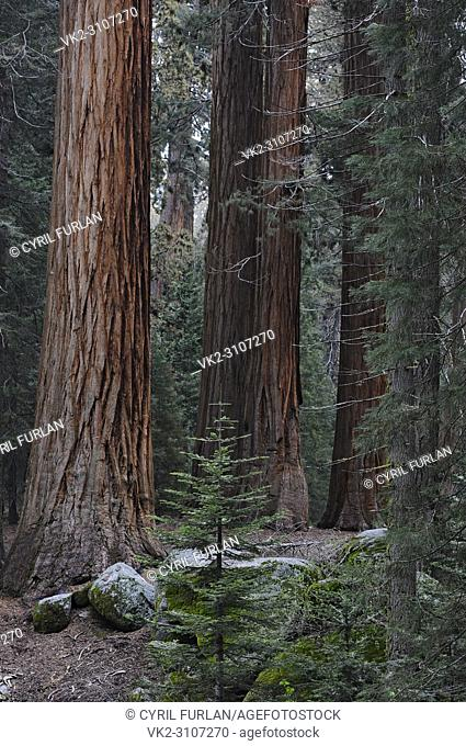 Grove of Young Sequoia Trees , Sequoia National Park