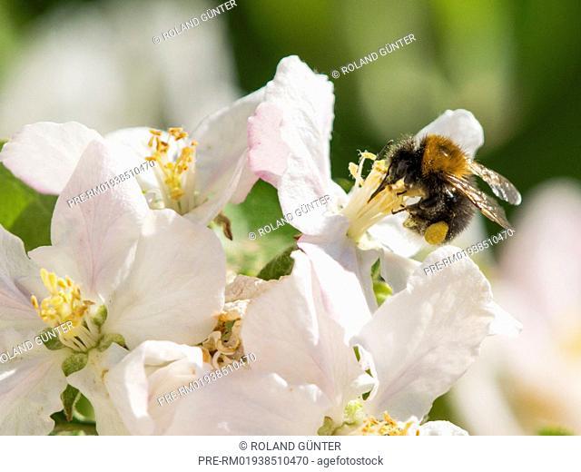 Tree bumblebee (Bombus hypnorum) on apple blossoms (Malus domesticus) / Baumhummel (Bombus hypnorum) auf Apfelblüten (Malus domesticus)