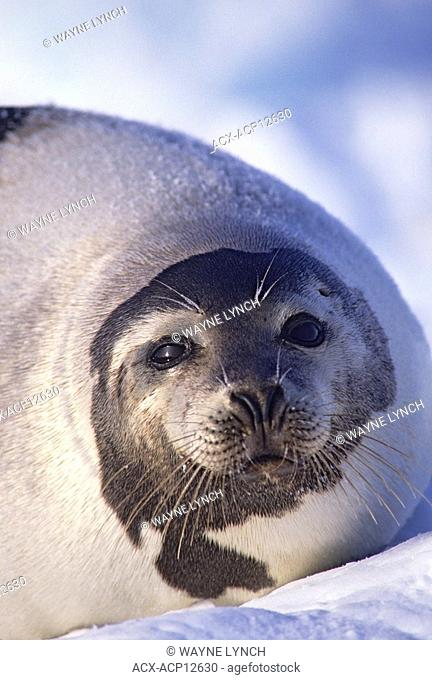 Adult harp seal Phoca groenlandica, Magdalen Isalnds, Gulf of St. Lawrence, Canada