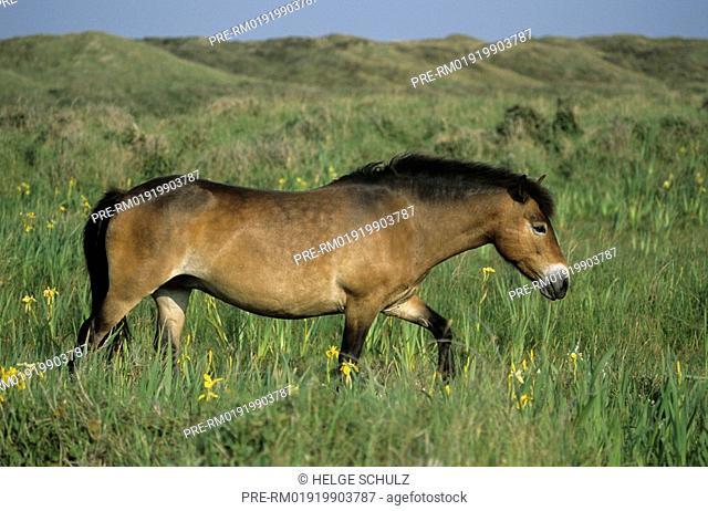 Exmoor Horse, mare, Equus ferus caballus