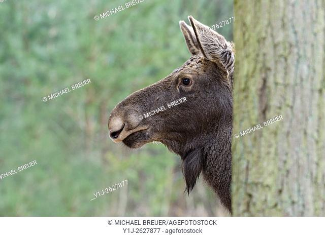 Moose behind tree, Alces alces, Europe