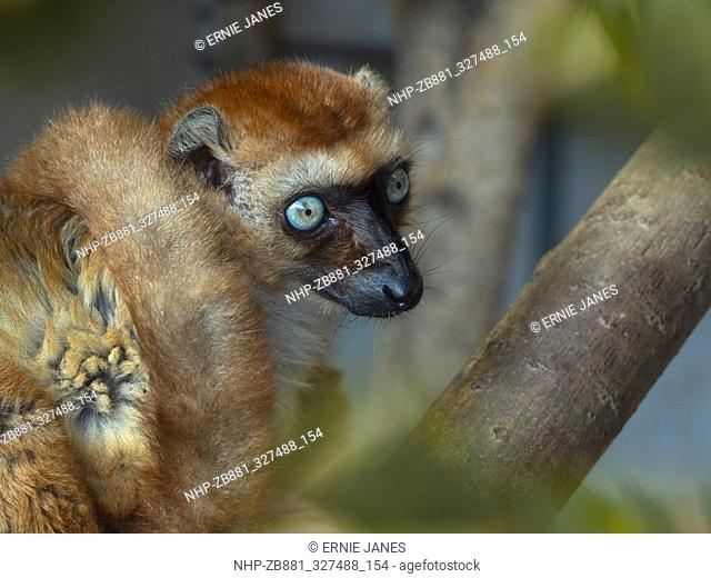 female Blue-eyed black lemur Eulemur flavifrons also known as the Sclater's lemur