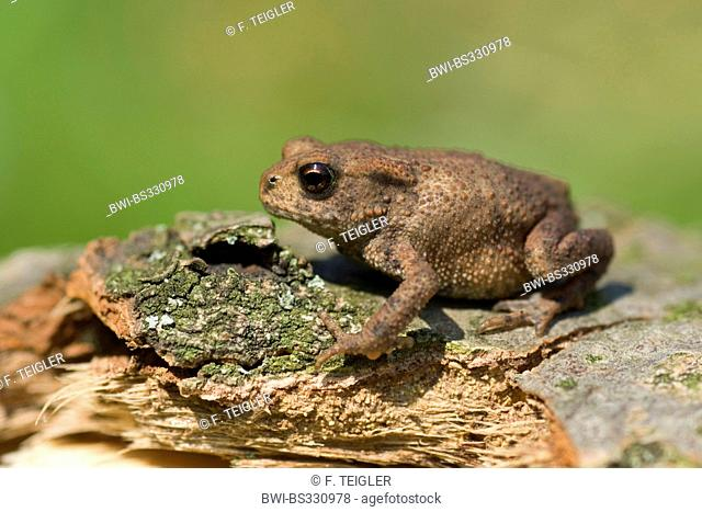 European common toad (Bufo bufo), young animal sitting on dead wood, Germany
