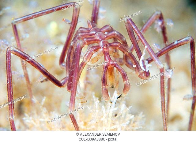 Nymphon grossipes sea spider
