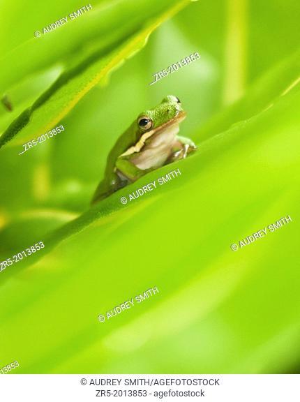 Green treefrog in green leaves, Florida, USA