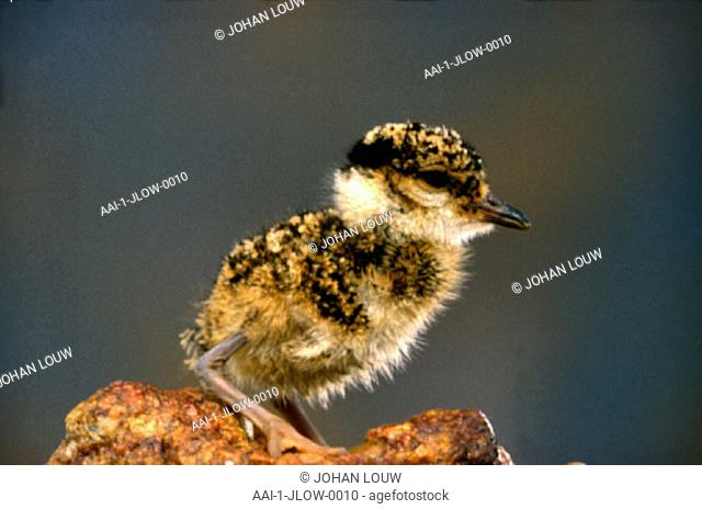 Crowned Plover chick, South Africa