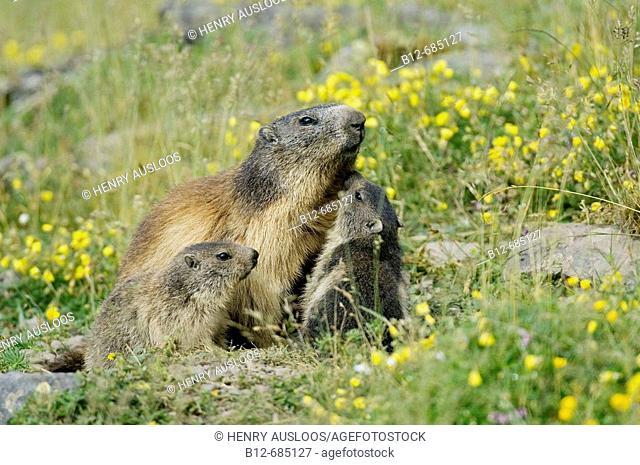Alpine Marmot (Marmota marmota), adult and youngs