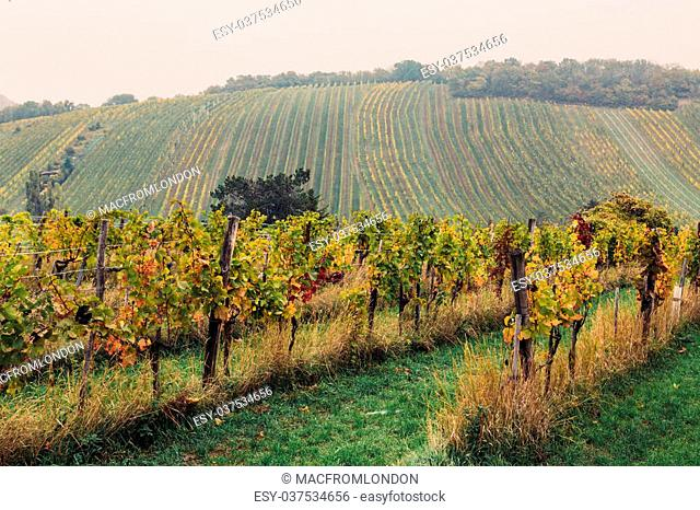 Vineyards with multi coloured leaves during the autumn. Rolling hills can be seen in the distance