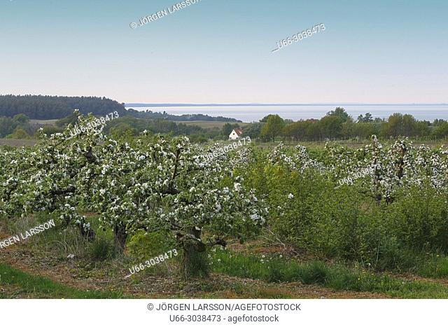 Apple blossom. Spring in Skane, Sweden