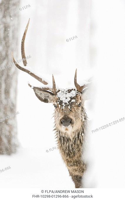 Red Deer (Cervus elaphus) stag, close-up of head, standing amongst trees in snow covered coniferous forest, Cairngorms N.P