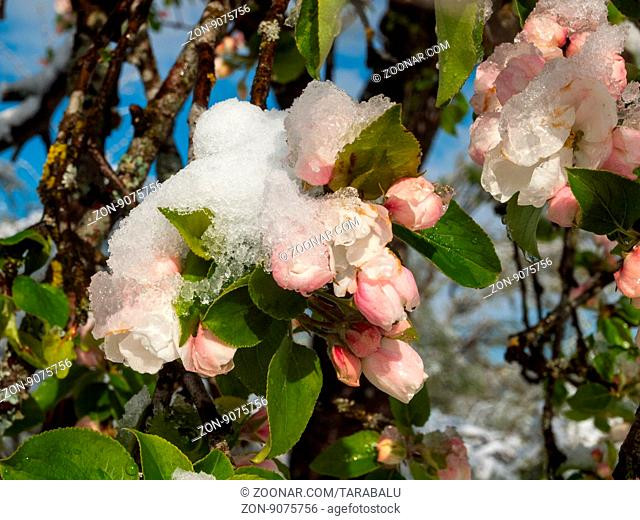 Late cold and onset of winter has brought snow in the flowers of apple and pear trees. (End of April 2016) Ein später Kälte- und Wintereinbruch hat Schnee in...