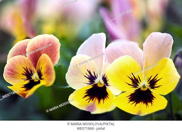 Three Pansy Flowers. Viola x wittrockiana. April 2007, Maryland, USA