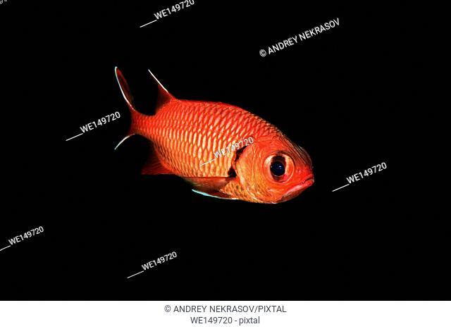Pinecone Soldierfish or Big-eye soldierfish (Myripristis murdjan) floats in the black background, Red sea, Sharm El Sheikh, Sinai Peninsula, Egypt