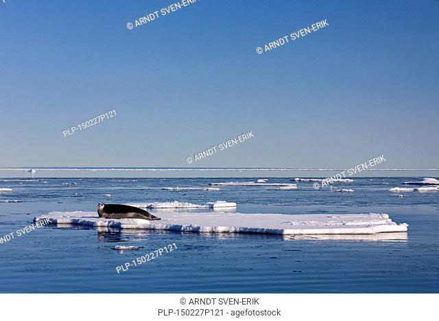 Bearded seal / square flipper seal (Erignathus barbatus) resting on ice floe, Svalbard, Norway