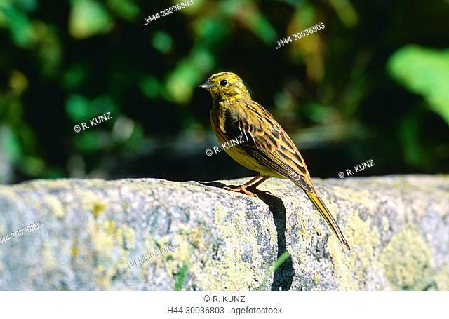Yellowhammer, Emberiza citrinella, Emberizidae, male, bird, animal, Campello, Canton of Ticino, Switzerland
