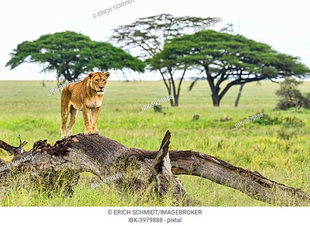 Lion (Panthera leo) on rotten tree, Serengeti, Tanzania