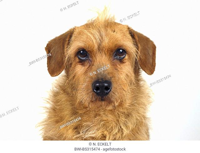 mixed breed dog (Canis lupus f. familiaris), portrait