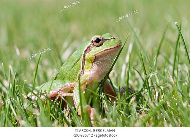 A small green frog on grass