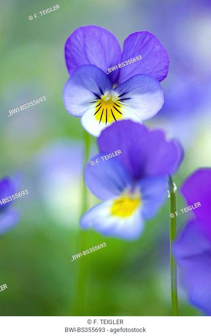 heart's ease, heartsease, wild pansy, three colored violet (Viola tricolor), flowers, Germany