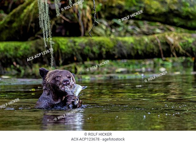 Grizzly bear feeding on salmon at a river mouth in the Great Bear Rainforest, First Nations Territory, British Clumbia, Canada