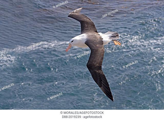Falkland Islands, Saunders island, Black browed Albatross Thalassarche melanophrys, in flight