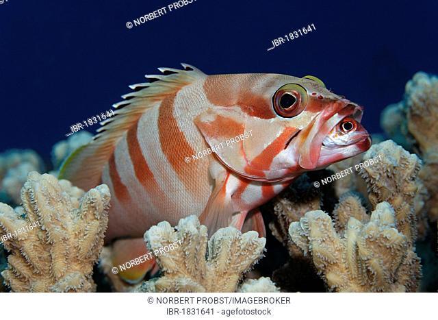 Blacktip grouper (Epinephelus fasciatus) on coral, feeding on Sammara squirrelfish (Neoniphon sammara), Hashemite Kingdom of Jordan, JK, Red Sea, Western Asia