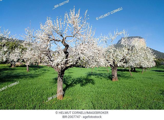 Blooming almond trees (Prunus dulcis) near Alaro, Puig Son Cadena, Serra de Tramuntana, Majorca, Balearic islands, Spain, Europe