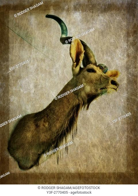 Kudu hunting trophy. South Africa