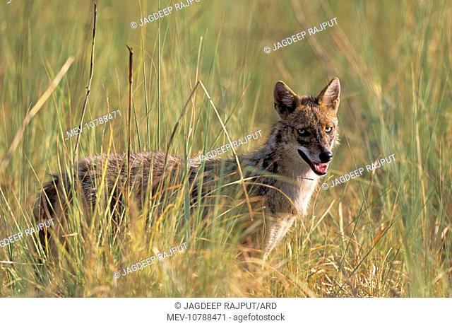 Jackal in the grassland (Canis aureus)