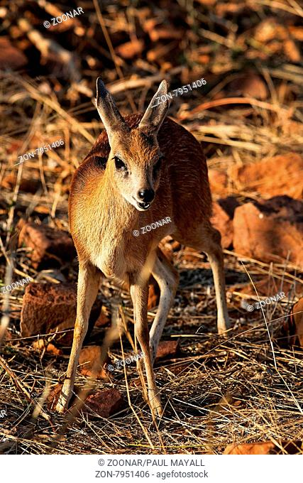 Young female Bushbuck (Antilope cervicapra),close-up, in Kruger National Park, South Africa