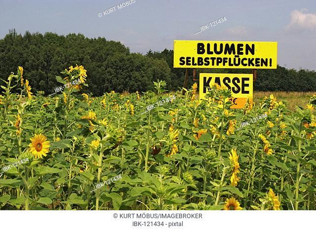 Big yellow board advertising self-picking of sunflowers Helianthus annuus
