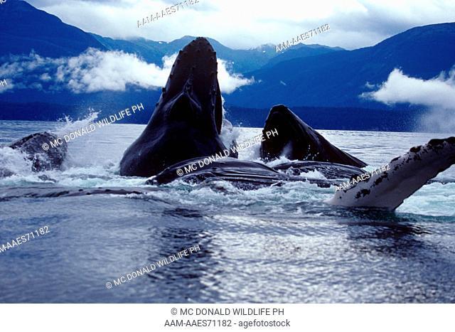 Humpback Whale Bublenet Feeding (Megaptera movaeangliae), AK