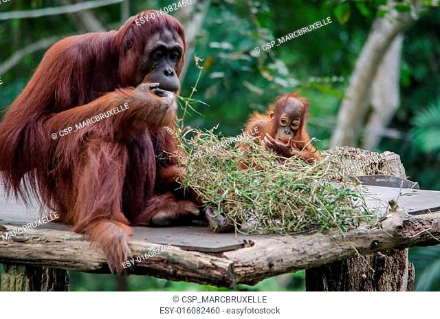 Baby Orangutan and its mother