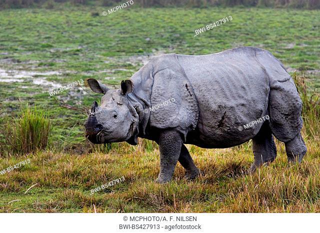 Greater Indian rhinoceros, Great Indian One-horned rhinoceros (Rhinoceros unicornis), in a swamp, India, Assam, Kaziranga National Park