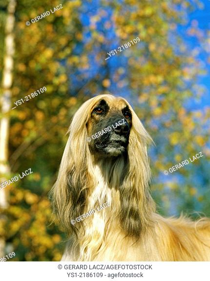 Afghan Hound, Portrait of Dog